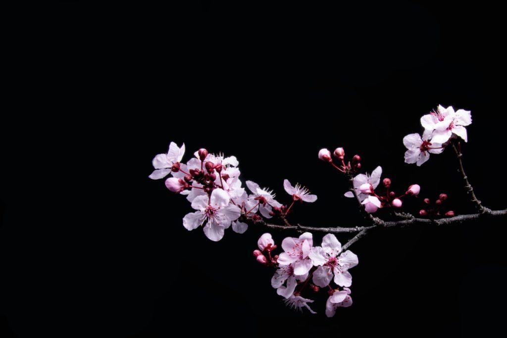 Цветение сакуры в Японии, праздник Ханами