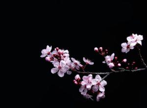 Цветение сакуры в Японии: традиция ханами