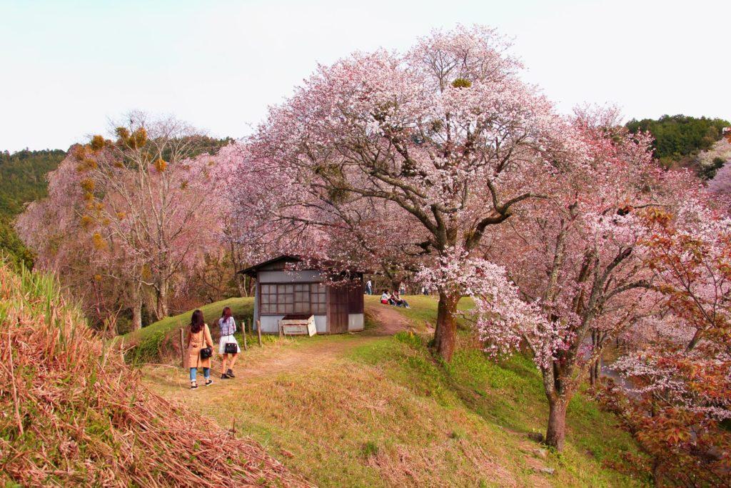 Цветение сакуры (Культура Японии)