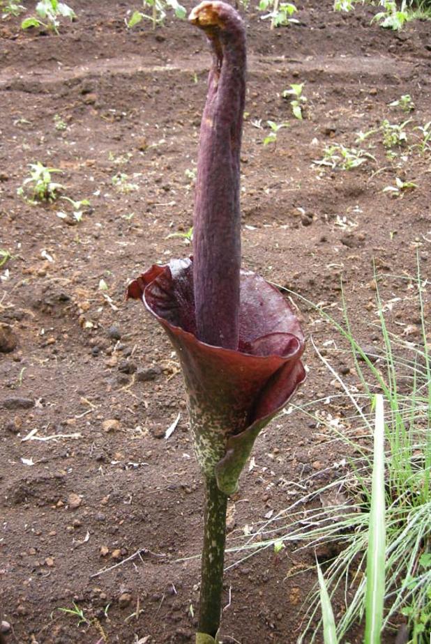 konjak-flower