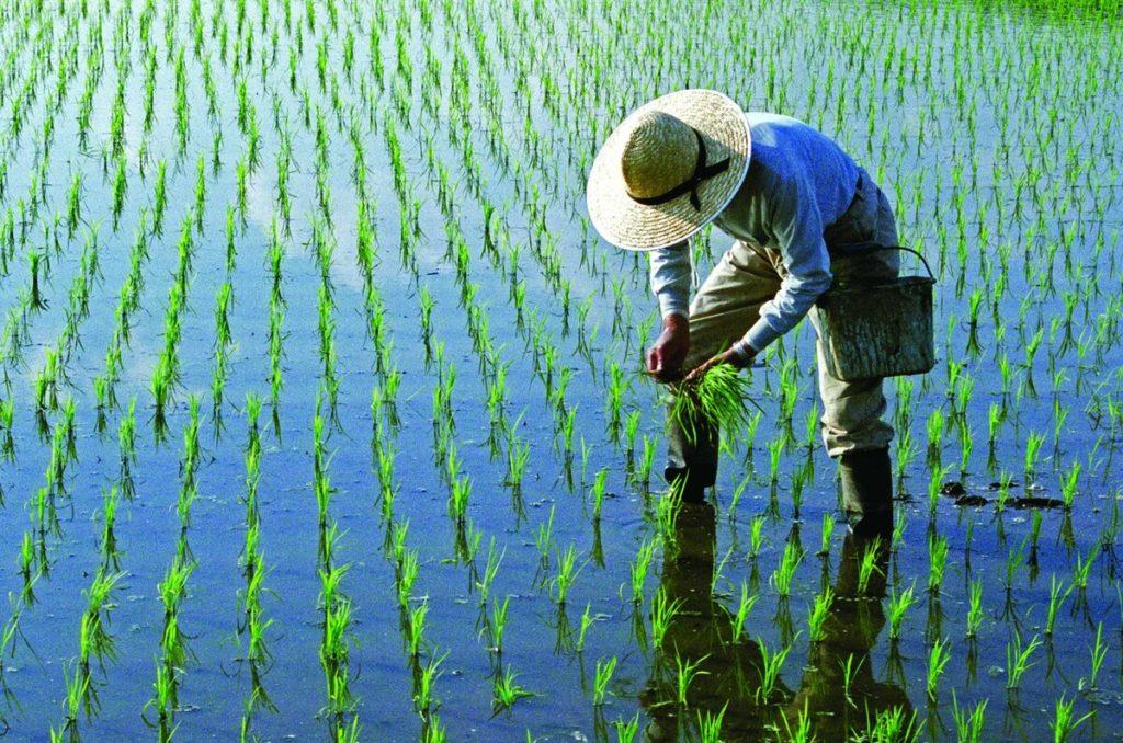 Рис в Японии